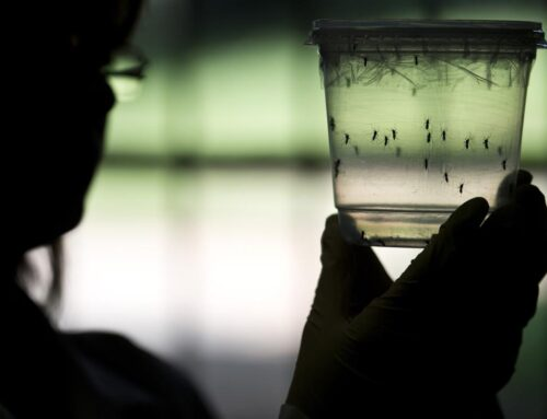 Florida (US) releases artificial mosquitoes into the open air to replace the current disease-transmitting population. Could they alter the ecosystem?