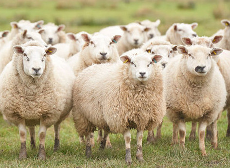 Cloned animals. Confirmation that cloned sheep can live a long healthy life. This finding opens an attractive field for producing cloned animals.