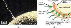 human embryo biological identity