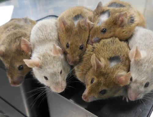 Regenerative medicine. Rats' heart muscle regenerated