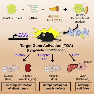 Salk scientists have created a new version of technology for gene edition. In vivo CRISPR/Cas9 epigenetic activation in mice produced promising results