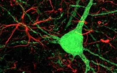 Cell reprogramming neurons in mice brain themself have been achieved. Having presented evidence that reprogrammed astrocytes acquire neuronal properties
