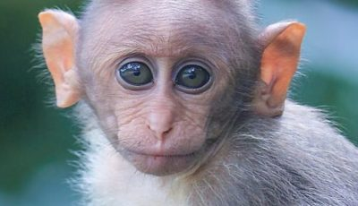 Human–animal hybrid advisability debate is reignited by a new experimets with the brain of 11 monkeys to enhance their inteligence