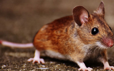 Single sex offspring selected obtaining female mice. This new technique could allows biased sex production of livestock but could be applied with other aims