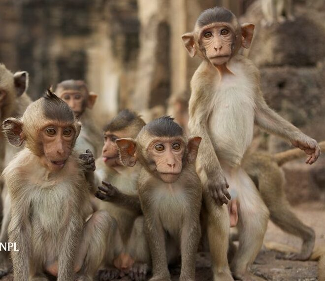 Although ther are reservations regarding the transfer of the experiments in humans.Monkey embryos development has been studied