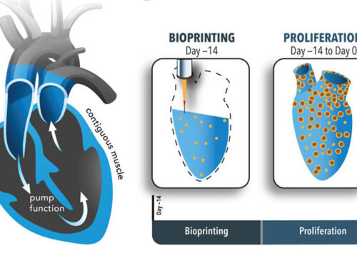3D bioprinted heart organoid with iPS cells has robust electromechanical function