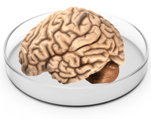 Brain organoids finding